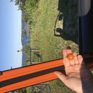 Photo through the open window of an open driver's side door overlooking gardens and the ocean. The car's exterior is bright orange, and a hand holds a bright orange sun gold tomato in the frame of the car window.